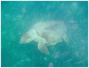 snorkeling_turtle