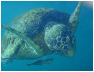 snorkeling_turtle2