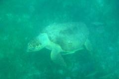 snorkeling_turtle-300x200